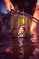 Fly rod and reel with a brown trout from a stream. Fish trout on a hook. Holding brown trout. Brown trout fish. Steelhead rainbow trout.