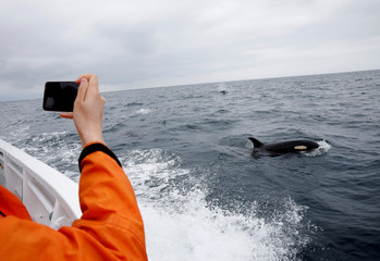 A tourist on a whale watching tour boat photographs a killer whales in the sea near Rausu