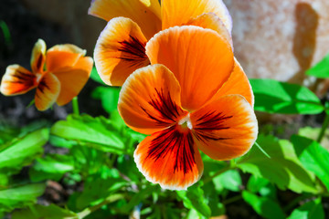 Flowers pansies, viola on a background of green leaves and earth,beautiful natural background