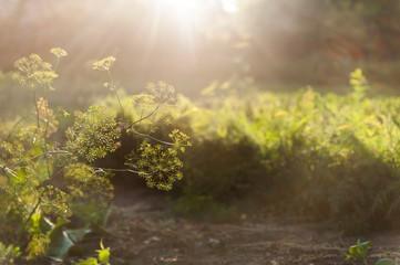 dill flower on sunlight