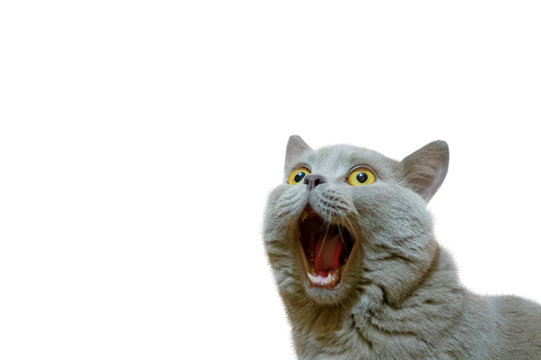 A lilac British cat looking up. The cat opened his mouth with a mad look. The concept of an animal that is surprised or amazed. The figure of a cat on an isolated background of white color.