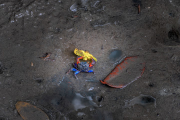 colorful crabs are walking on the mud in mangrove forest
