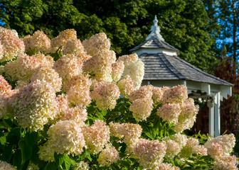 Zelfklevend Fotobehang Hydrangea A large peegee hydrangea (Hydrangea paniculata 'Grandiflora') in the foreground with a gazebo in the background.