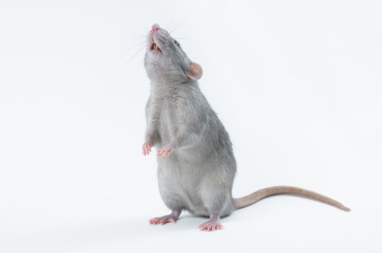 affectionate cute rat sitting on white background