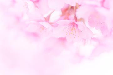 Foto op Canvas Kersenbloesem 満開の河津桜