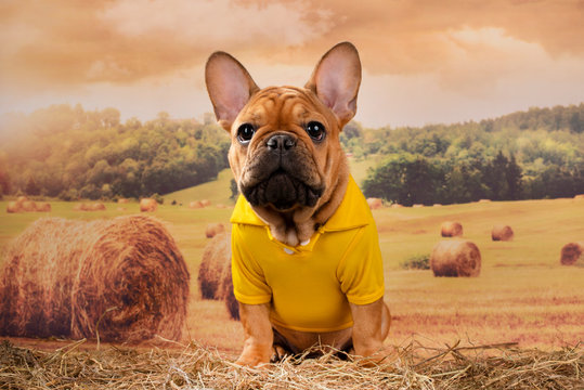 french bulldog puppy walks in a field after haying