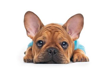 Tuinposter Franse bulldog french bulldog puppy on background