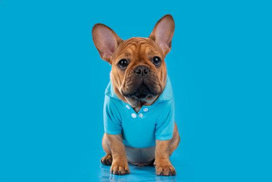 french bulldog puppy on background