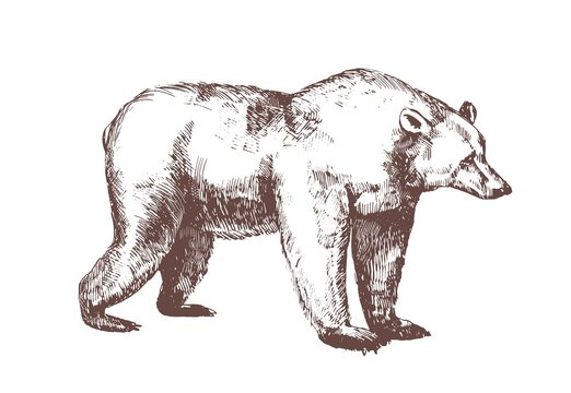 Brown bear hand drawn with contour lines on white background