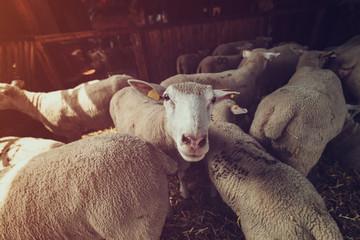 Ile de France sheep flock in pen on livestock farm