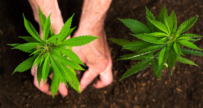 Person planting industrial hemp in the soil