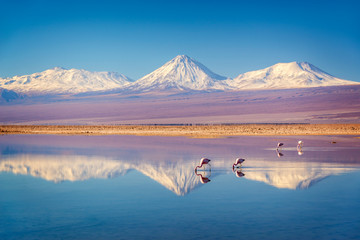 Aluminium Prints Flamingo Snowy Licancabur volcano in Andes montains reflecting in the wate of Laguna Chaxa with Andean flamingos, Atacama salar, Chile