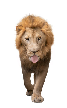male lion walking isolated on white background