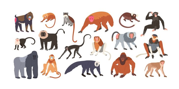 Collection of cute funny exotic monkeys and apes isolated on white background. Set of adorable tropical animals or primates. Bundle of endangered species. Flat cartoon colorful vector illustration.