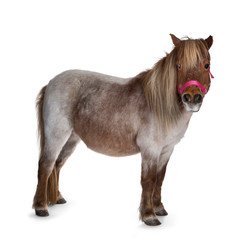 Brown with white Shetland pony, standing side ways looking at camera. Isolated on a white...