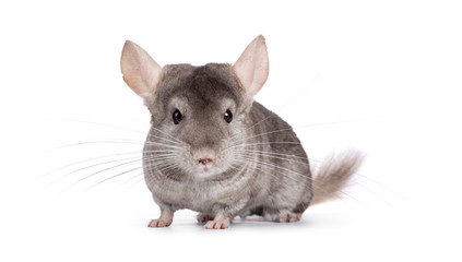 Cute grey Chinchilla, standing facing camera. Isolated on white background.