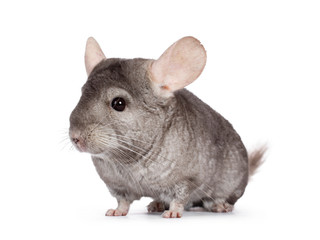 Cute grey Chinchilla, standing side ways. Isolated on white background.