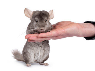 Cute grey Chinchilla, standing facing camera on hind paws, leaining on human hand. Isolated on white background.
