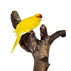 Red crowned yellow Kakariki bird, sitting side ways on branch of tree. Isolated on white background.