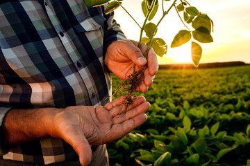 Close up of senior farmer hands examining crop in soybean field at sunset. Wall mural