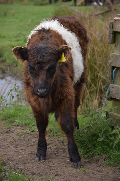 Long Haired Belted Galloway Calf with Shaggy Fur
