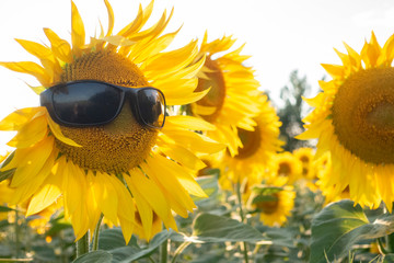 Sunflower Wear A Sunglasses on Blue Sky background field