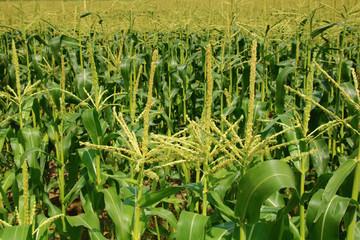 Fotoväggar - blühendes maisfeld    Süßmais   zuckermais