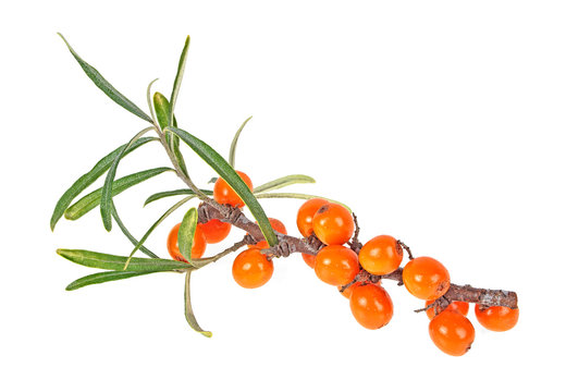 Sea buckthorn branch with berries isolated on white background. Hippophae rhamnoides.