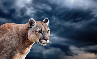 Printed kitchen splashbacks Puma Portrait of a cougar, mountain lion, puma, panther, striking a pose on a fallen tree, winter mountains, against the background of storm clouds