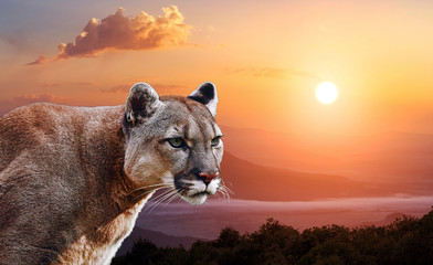 Portrait of a cougar, mountain lion, puma, panther, at sunset in the mountains Fotoväggar