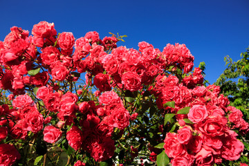 Pink climbing roses on blue sunny sky. Summer background.