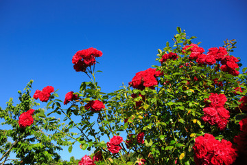 Red climbing roses Santana on blue sunny sky. Summer background.