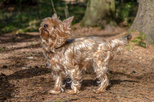 close up portrait of pretty, sweet, small, little dog Yorkshire terrier, looking happy