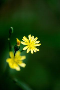 Wild flower botanical identity macro background fine art in high quality prints products fifty megapixels lapsana communis L family compositae