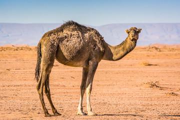 Wild camel in desert Sahara in Erg Chigaga, Morocco