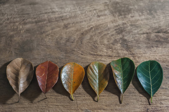 Gradient leaves on different stage autumns senescence on empty wooden