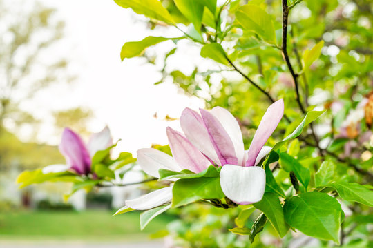 Magnolia white and pink open flowers macro closeup during bright sunny day in spring in Virginia with green leaves