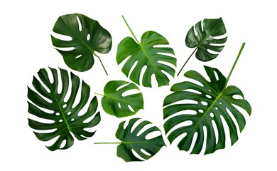 Monstera, Swiss Cheese Plant, tropical leaves, isolated on white background