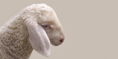 Portrait of a young sheep.