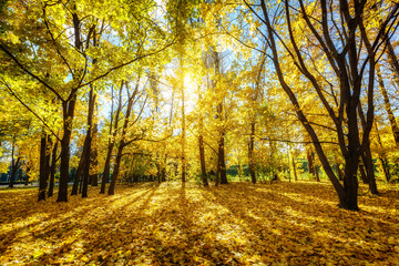Sunny autumn landscape with golden trees and blue sky in a city park