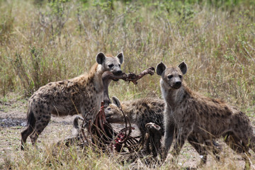 Papiers peints Hyène Hyäne fressen