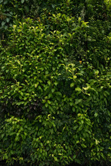 Green wall, eco friendly vertical garden Leaves backgound