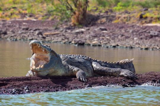 big nile crocodile with opened mouth. Crocodylus niloticus, largest fresh water crocodile in Africa, is panting and resting on ground. Chamo lake, Arba Minch Ethiopia, Africa wildlife