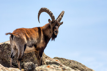 Fototapeta Very rare Walia ibex, Capra walia, one of the rarest ibex in world. Only about 500 individuals survived in Simien Mountains National park in Northern Ethiopia, Africa obraz