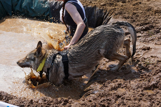 Wolf dog selflessly throws himself into the water, fulfilling the task set by her mistress. Dogs of this breed can work together in a flock to achieve a common goal