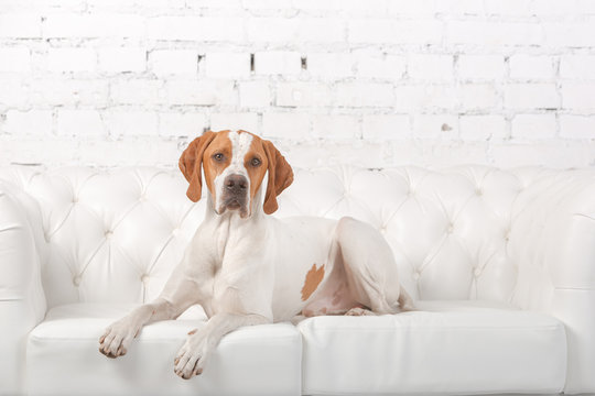 White with red English pointer dog posing in a photo Studio at the background of white brick wall