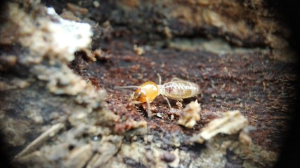 An Indian drywood termite - Cryptotermes brevis Extreme macro closeup Photo