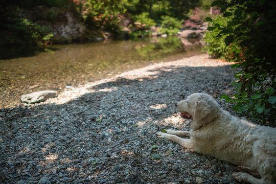 White Kuvasz Dog sitting near a stream in the shade