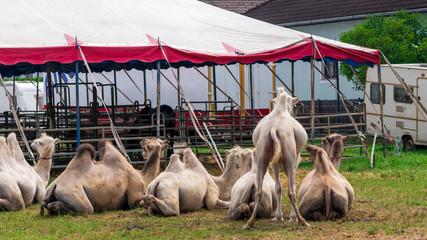 Zirkustiere: Kamele auf der Weide