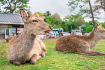 日本の観光地 / 奈良公園にいる鹿の写真